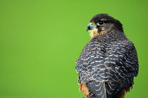 aplomado falcon bird of prey hawk