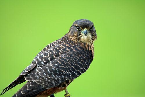 new zealand falcon bird of prey hawk