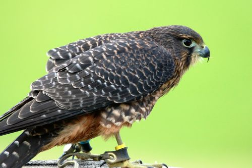 aplomado falcon falcon bird