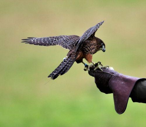 new zealand falcon falcon bird