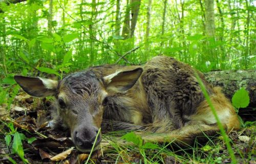 Newborn Elk
