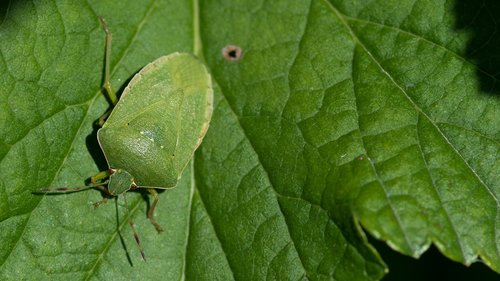 nezara viridula  green stink bug  hétéroptère