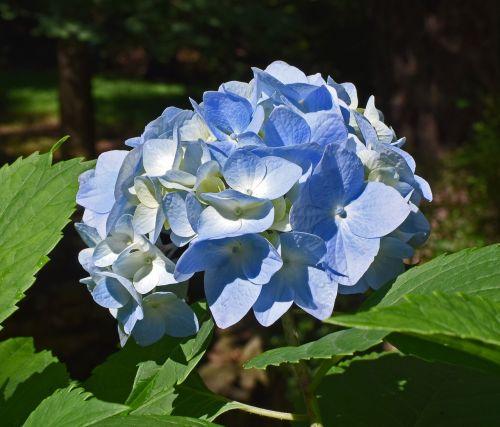 nice blue hydrangea hydrangea blossoms
