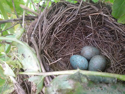 Nest Of Blackbirds