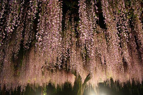 night wisteria trellis fall