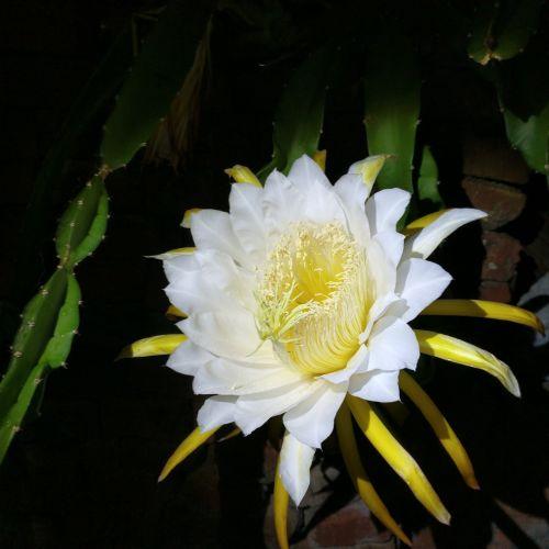 night flower epiphyllum