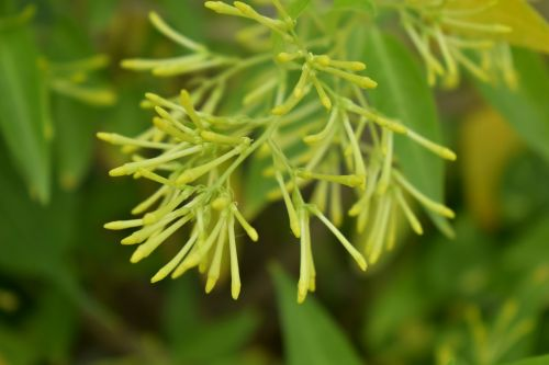 night-blooming jasmine night-blooming cestrum lady of the night