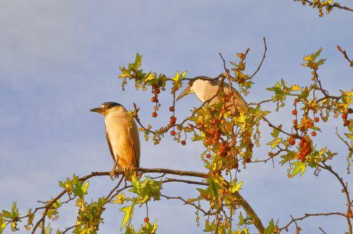 Night Heron In Trees