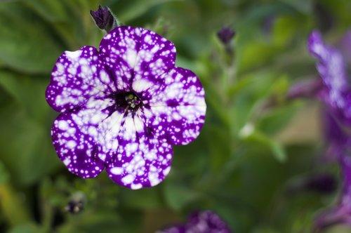 night sky petunia  petunia  flower