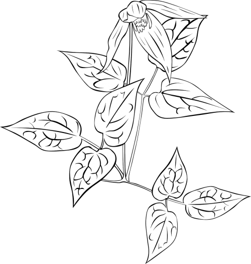 nightshade plant clematis