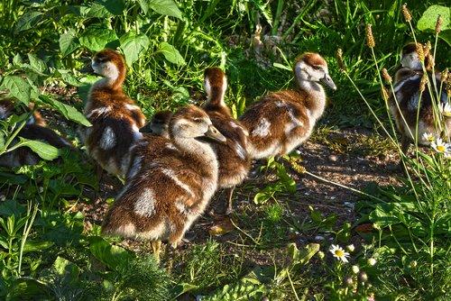 nile goose  chick  waterbird