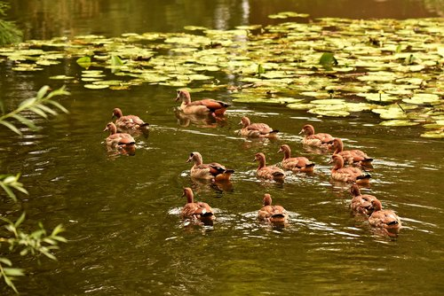 nile goose  duck  waterbird