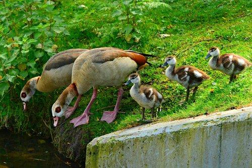 nile goose  duck  water bird
