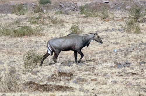 nilgai  antelope  animal