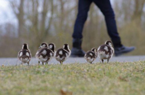 nilgans birds poultry