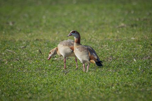 nilgans,žąsis,laukas,vandens paukštis,paukštis,plumėjimas,alopochen aegyptiacus,spalvinga,laukiniai žąsys,gyvūnas,ančių paukštis,gamta,sąskaitą,laukinės gamtos fotografija,laukinis paukštis,žąsys,ruda,migruojantys paukščiai