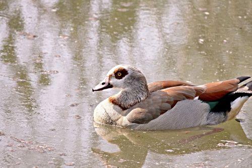 nilgans goose water bird
