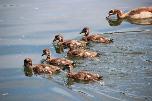 nilgans chicks egyptian goose chick