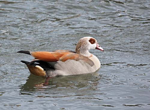 nilgans water bird alopochen