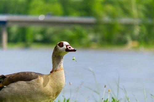 nilgans  duck  animal