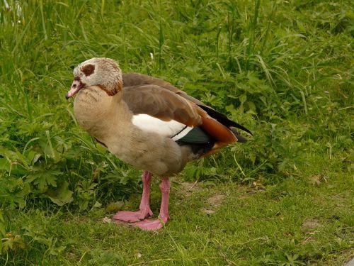 nilgans goose alopochen aegyptiacus