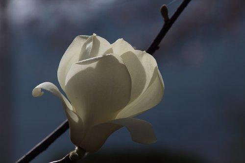 no filter  magnolia  flowers