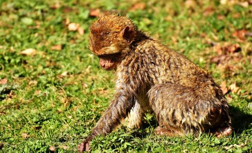 no one wants to play with me no one to love me barbary ape
