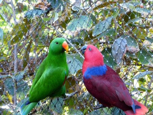 noble parrots parrots couple