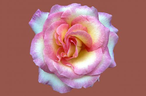 noble rose cindy rosengarten bad kissingen rose city bad kissingen