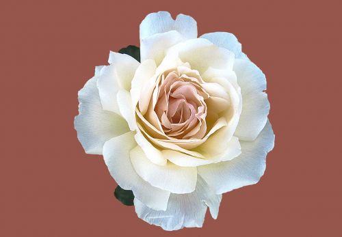 noble rose marie-luise marjan rosengarten bad kissingen rose city bad kissingen
