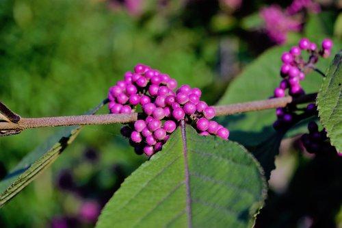 nonpareils  branch  leaf
