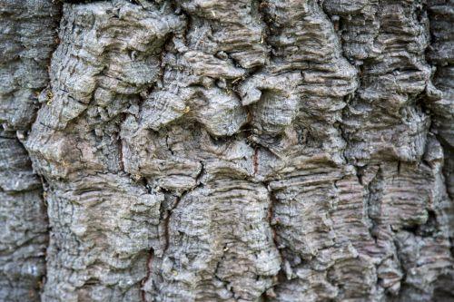 Norfolk Island Pine Bark Background