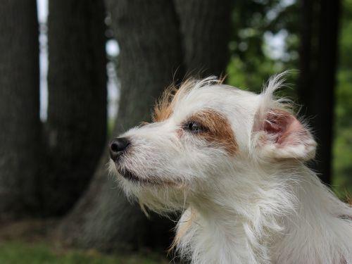 Norfolk Terrier Profile