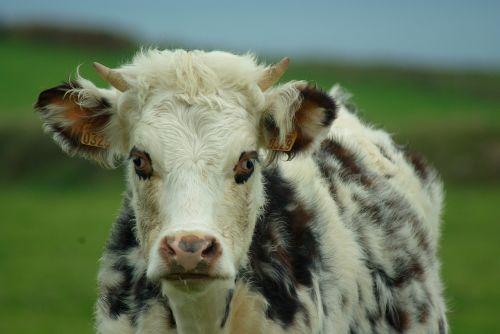 Normandija,karvė,pienas,veisimas
