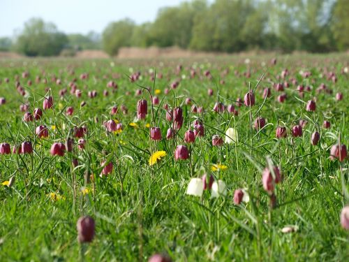 north meadow cricklade fritillaries