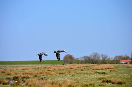north sea migratory birds geese
