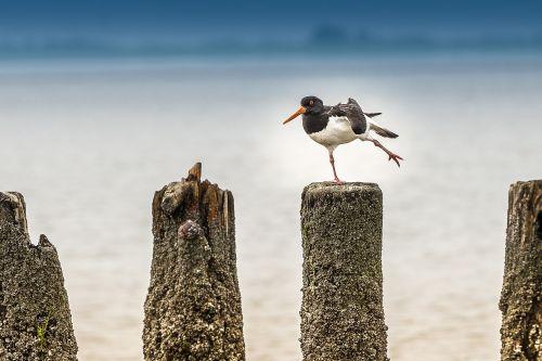 north sea bird waders