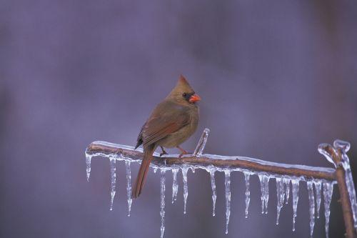 northern cardinal bird redbird
