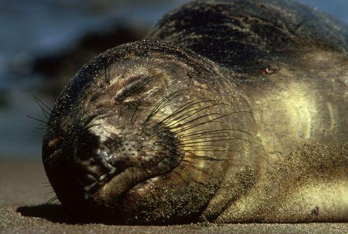 northern elephant seal animal wildlife