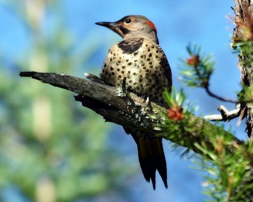 northern flicker woodpecker bird