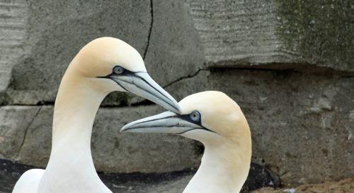 northern gannet beaks bill