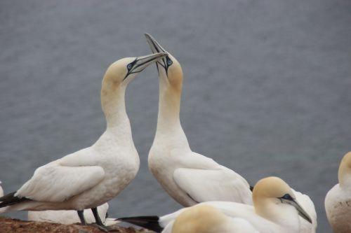 northern gannet helgoland sea bird