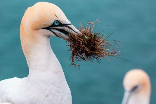 northern gannet boobies morus bassanus