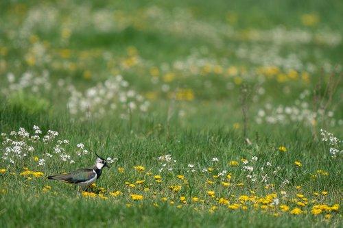 northern lapwing  vanellus vanellus  bird
