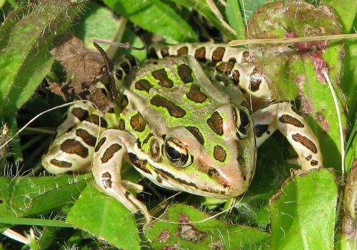 northern leopard frog lithobates pipiens rana pipiens