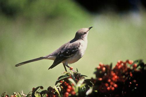 northern mockingbird songbird bird