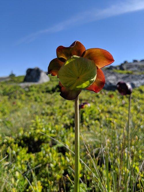 northern pitcher flower  sarracenia purpurea  nova scotia