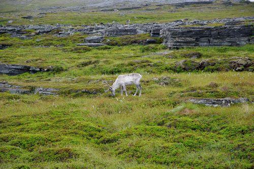 Norvegija,šiaurinis gaubtas,rennes,elnias,Laplandas