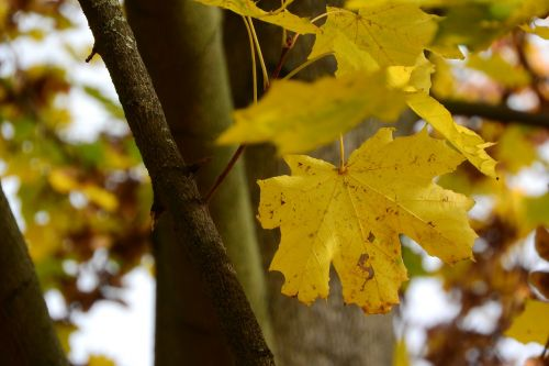 norway maple maple leaves acer platanoides