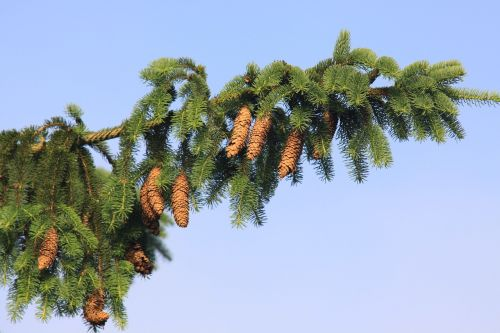 norway spruce spruce spruce needle